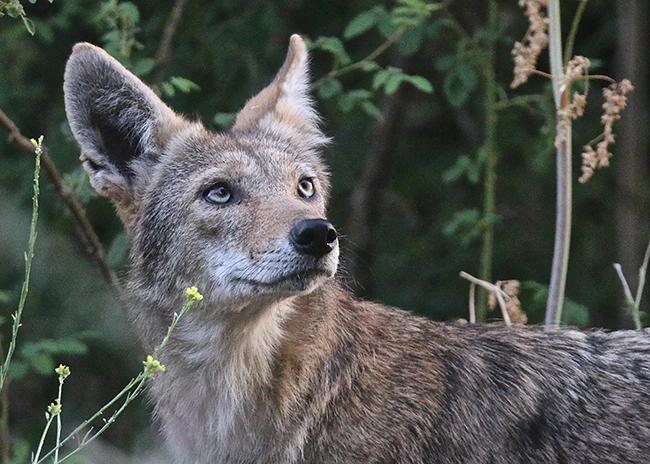 coyote guy