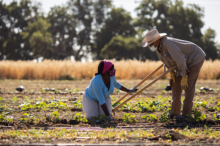 Student farmers working in the field