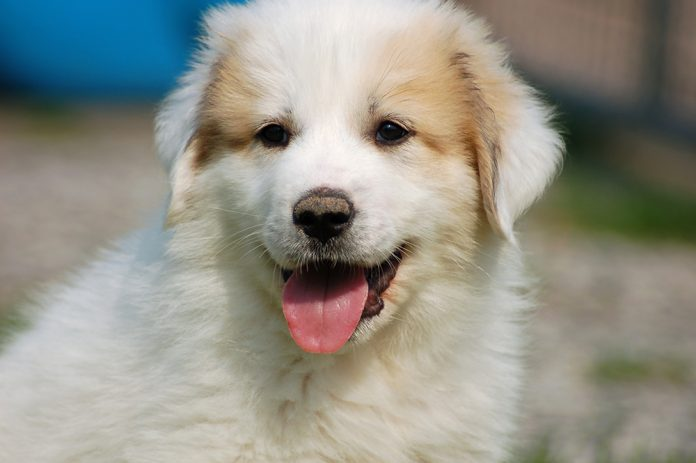 big dogs Great Pyrenees