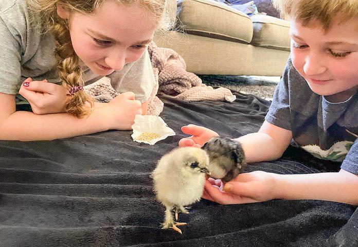 chicken hatchers gullyrumpus