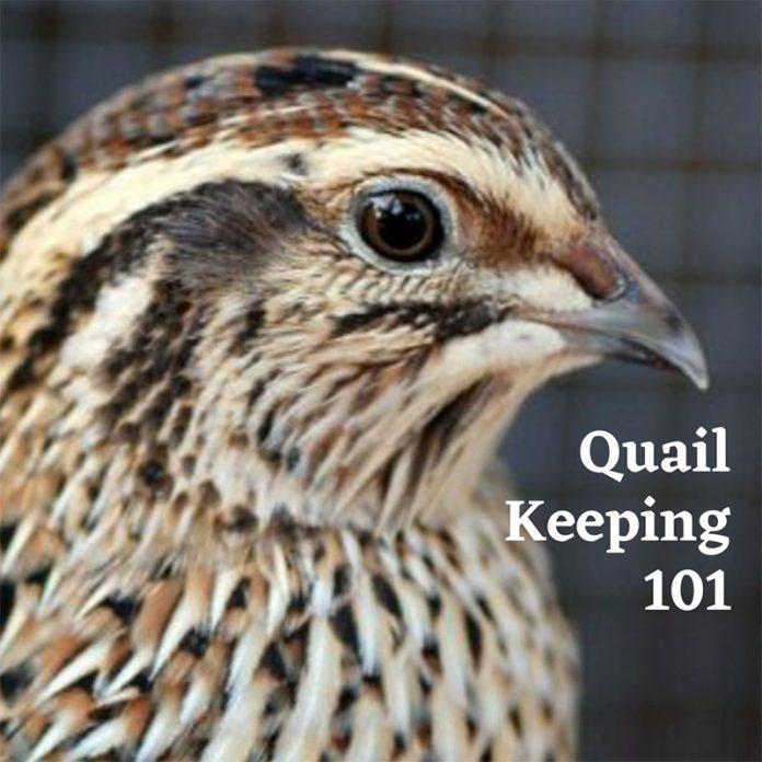 quail keeping 101