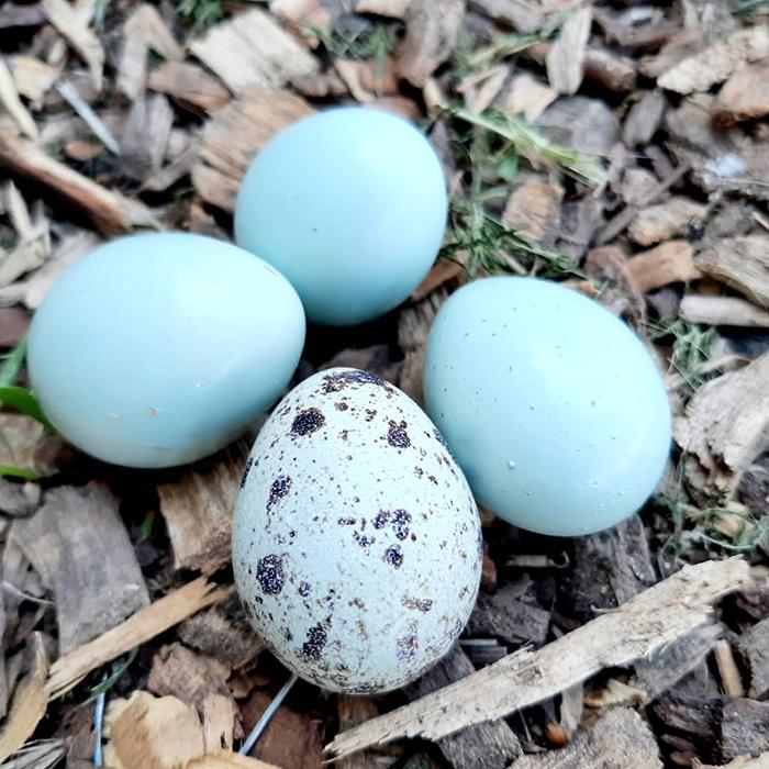 blue eggs quail