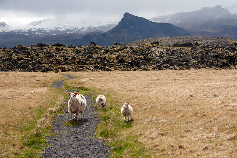 Sheep in front of lava fields at Snæfellsjökull National Park