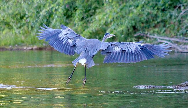 great blue heron wildlife