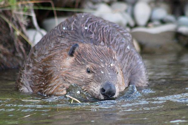 wildlife beaver